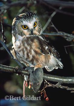 Mouse and Saw whet Owl