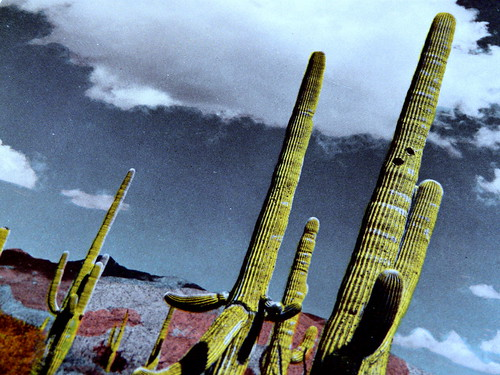 Giant Cactus in Arizona, Southern Pacific RR Lines, 1943