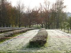 20110617b Frosty lavender field