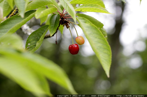 ripe cherry - MG 5113.JPG