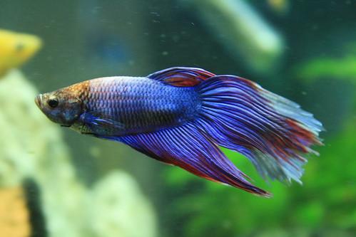 fish aquarium siamese fishtank tropical fighting betta bettasplendens splendens