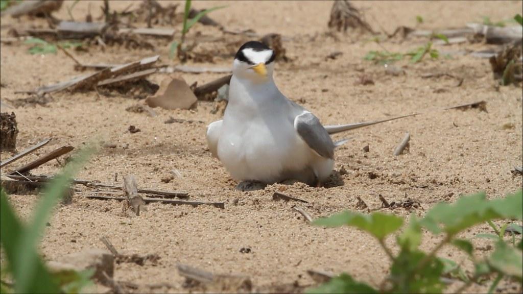 Video - Least Tern on Nest