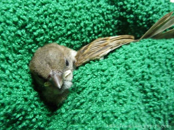 Sparrow Rescue 1