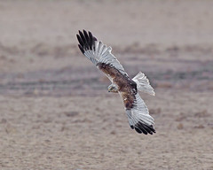 Harrier  no replacement (Andrew Haynes Wildlife Images) Tags: nature wildlife nwt marshharrier cleymarsh ajh2008