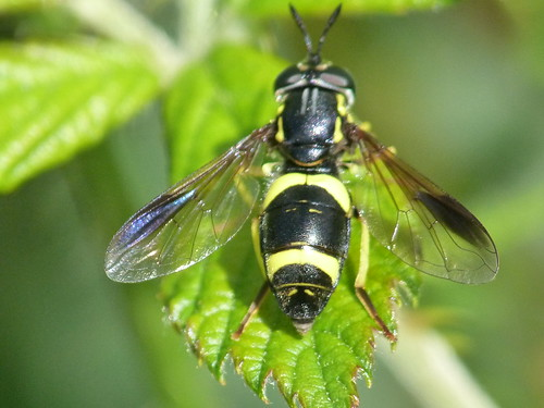 Hoverfly [Chrysotoxum bicinctum] by Peter Orchard