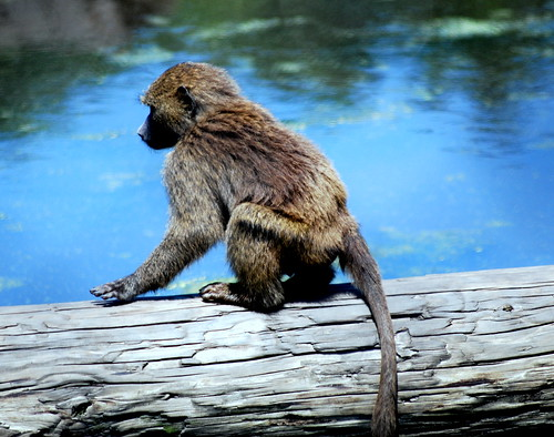 Baboon on Log