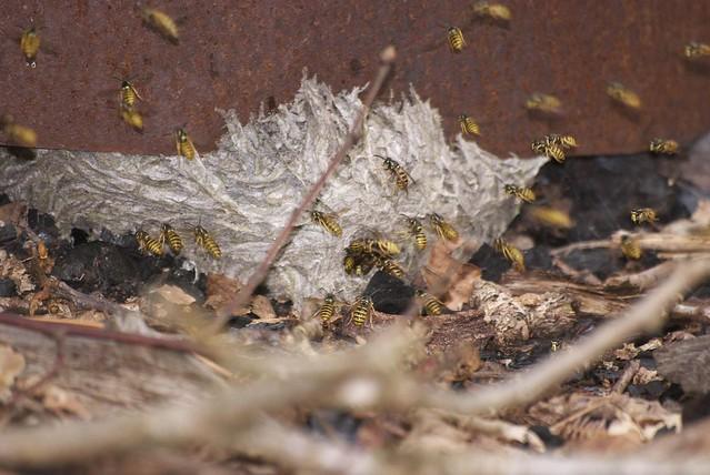 DSC_8240 wasp nest