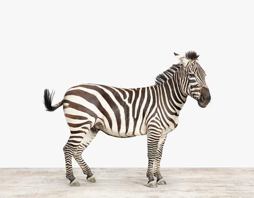 Zebra_545