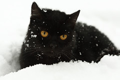 (Norbert Krlik) Tags: white snow black cat chat noir nieve negro gato neige gatto nero canoneos5d canonef100mmf28macrousm bestofcats mygearandme ringexcellence