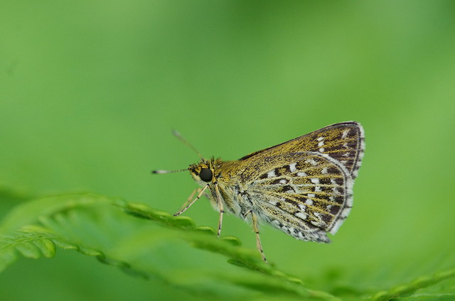 Aeromachus inachus
