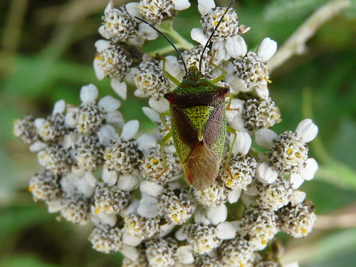 Hawthorn Shield-bug (Acanthosoma haemorrhoidale) by Peter Orchard