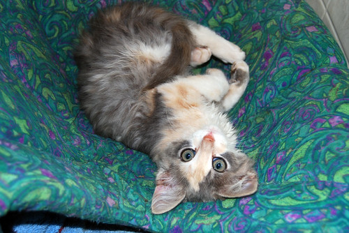 Clementine, a small fluffy kitten who is mostly grey with white undercarriage and a big yellow triangle in the middle of her face, lies with her body on its side and her head upside down, looking at the camera.