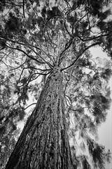 Wellingtonia (RoryO'Bryen) Tags: tree wellingtonia no9 cambridge roryobryen leica m7 film analogue scanned from negative analog 35mm rangefinder leicam trix messsucher copyrightroryobryen 9adamsroad