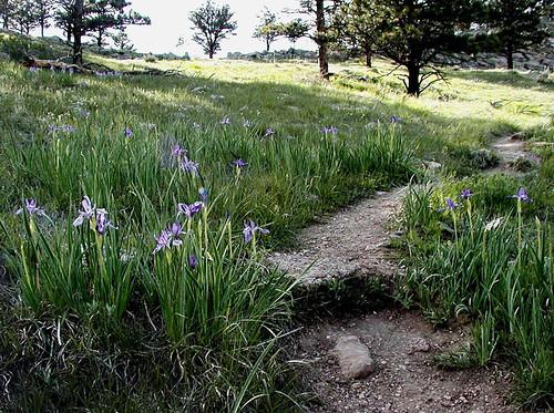 Photo - Wild Irises