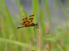 Dragonfly at Rest (dlv1) Tags: pond dragonfly bokeh newhampshire concord halloweenpennant