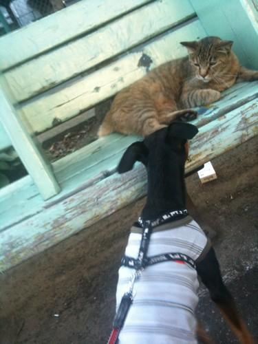 散歩なう。ネコちゃんに絡む黒犬。