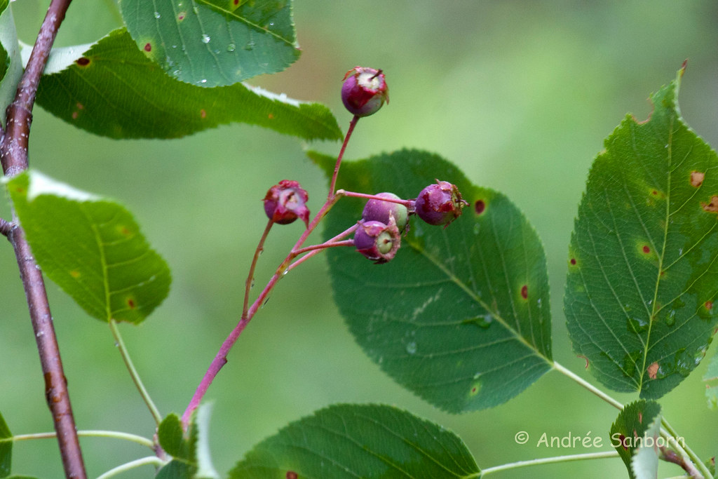 Canadian Serviceberry (Amelanchier canadensis)-1.jpg