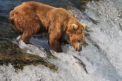 Fishing Brown Bear (toryjk) Tags: bear brownbear alaksa katmai