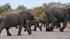 Elephant crossing (oddesy2) Tags: wild green nature animals southafrica wildlife shingwedzi krugernationalpark bergendal kruger satara skukuza crocodilebridge lowersabie malelane mopani maroela letaba pundamaria tsendze