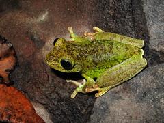 Emerald Eyed Treefrog (Junglenews) Tags: amazon frogs amphibians treefrogs roraima amazonia anura amphibia hylidae anfíbios anuros hypsiboas pererecas tepequém