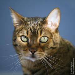 Xena (Bob Stronck) Tags: pets exotic felines housecat purebred bengalcat ©rmstronck stronckphotocom