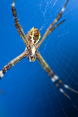 Master of the Web (Abllo™) Tags: blue yellow canon lens spider back web side master reversed maldives 450d notpoliticalatall
