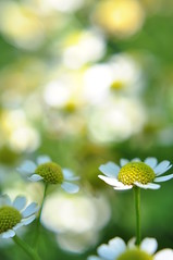 Dancing in the Sunlight (Seth Oliver Photographic Art) Tags: flowers summer sunlight nature illinois nikon midwest dof bokeh highlandpark pinoy chicagoland chicagobotanicgardens naturephotography macrophotography macrography flowermacros d90 handheldshot sooc flowershots 10macrofilter flowerbokeh macroimages beautifulbokeh aperturef35 liveview focuscontrol summerinchicago autowb manualmodeexposure setholiver1 isolo03 0003secondexposure 35mm18nikkorprimelens macrophotographyonabudget