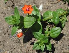 Scarlet Pimpernel (sam2cents) Tags: ireland plant flower nature scarlet wildlife romance adventure botany wildflower wicklow swashbuckling origin codename scarletpimpernelanagalisarvensis