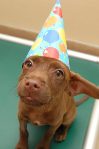 Pit bull puppy wearing a birthday hat