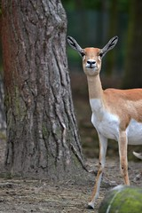 Indische Antilope (Tim Strater) Tags: blackbuck hilvarenbeek safariparkbeeksebergen antilopecervicapra hirschziegenantilope indischeantilope hertegeitantilope zwartebok