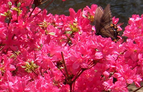 HPIM1024a-Butterfly in Pink Bush