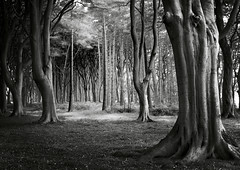 Beech Wood, Northumberland (welshio) Tags: travel autumn trees bw film nature monochrome leaves composition contrast forest mediumformat landscapes ancient woods flora woodlands scenery quiet gloomy sinister perspective peaceful eerie calm scan haunted creepy depthoffield spooky alnwick views mysterious romantic mystical remote lonely deciduous picturesque legacy lightandshadow tranquil atmospheric beech nothumberland mystic zonesystem pictorial enchantedforest sleepyhollow treetrunks beechtrees lightdark classiccomposition naturallandscapes mirkwood deciduouswoods spookyscene pullprocess
