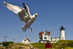 Nubble Light Gull  [Explored #113] (auburnxc) Tags: york summer lighthouse bird gull maine july atlanticocean forcedperspective eastcoast nubblelight 2011 capeneddicklight concordville sohierpark yorkcorner auburnphotographyclub july152011 07152011