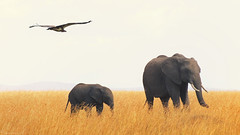 ... World's best zoo, part II (Joost N.) Tags: africa 2 wild elephant nature grass animal photography flying nikon kenya african wildlife daughter young natuur son mara faced afrika gras elephants vulture nikkor plains dieren kenia masai tusks olifant trave vliegen gier lappet specanimal