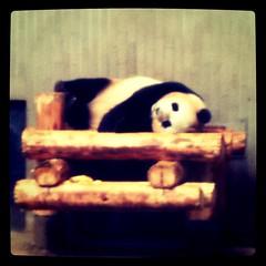 パンダ日和。