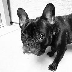 Hmmm... (Lainey1) Tags: leica bw dog face eyes funny glare humor wideangle bulldog mug stare frenchie frenchbulldog ozzy guilty leicadlux4