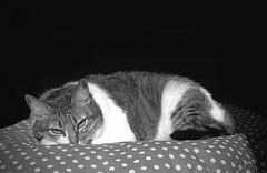 50770008 (.maila.) Tags: bw white black branco cat pentax k1000 kitty pb preto gato 400 gata filme dots kentmere