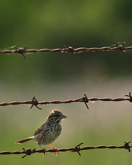 Sparrow DSC_3078 by Mully410 * Images