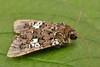2172-DSCN2569 White Spot (Hadena albimacula) (ajmatthehiddenhouse) Tags: hadeninae noctuidae moth hadenaalbimacula hadena albimacula whitespot 2011 uk kent stmargaretsatcliffe garden