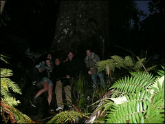 The Waipoua Forest, another massive Kauri tree
