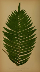 n277_w1150 (BioDivLibrary) Tags: smithsonian libraries ferns sil institution taxonomy:binomial=blechnumcapense bhl:page=34726709 dc:identifier=httpbiodiversitylibraryorgpage34726709