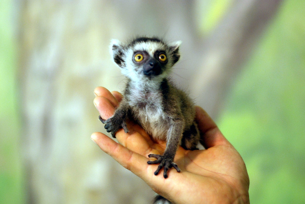 Cute ring tailed lemur