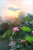 Lotus Flower (Bahman Farzad) Tags: flower macro yoga peace lotus relaxing peaceful meditation therapy lotusflower lotuspetal lotuspetals lotusflowerpetals lotusflowerpetal