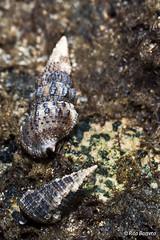 caramujos (Rita Barreto) Tags: brasil bahia nordeste pennsulademara camuflagem suldabahia caramujos faunamarinha baiadecamam