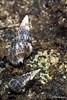 caramujos (Rita Barreto) Tags: brasil bahia nordeste penínsulademaraú camuflagem suldabahia caramujos faunamarinha baiadecamamú