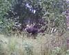der elch stand auf dem weg zum haus