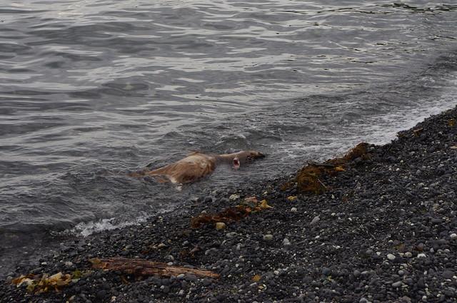 Dead Deer at Keats Island