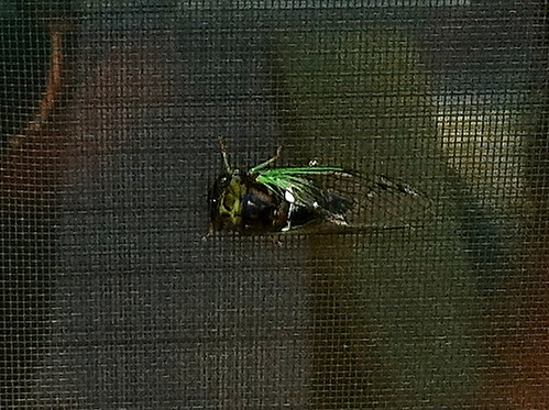 Cicada on my screen door