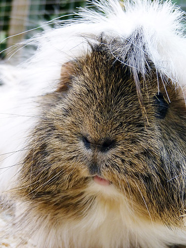 guinea pig by pete.holmes