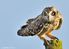 Coruja do nabal 04f (capellan1) Tags: wildlife avesemportugal aves pajaros shortearedowl asioflammeus corujadonabal capellan lecuzacampestre ramonlabora
